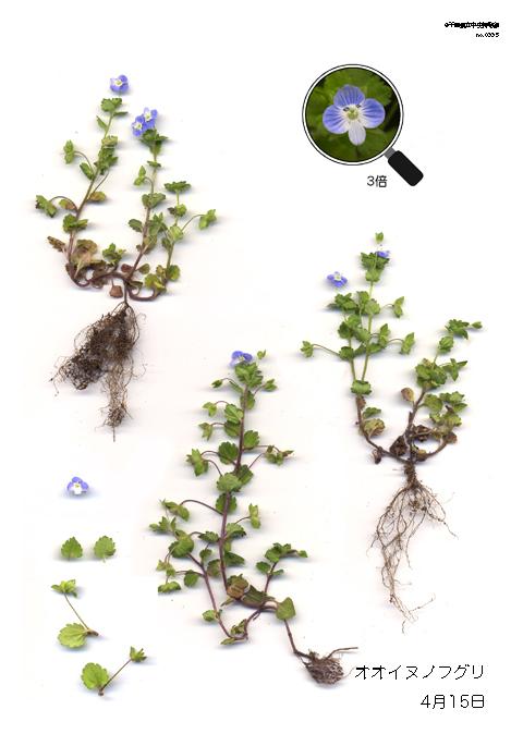 オオイヌノフグリの画像 p1_24